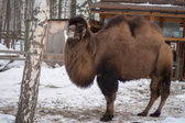 Bactrian camel in the winter — Stock Photo