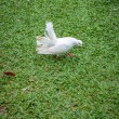 Stock Photo: White pigeon on grass