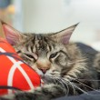 Lazy Maine Coon lying on pillow — Stock Photo #39991745