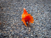 Orange pigeon on the stones — Stock Photo
