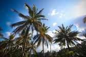 Coconut trees in blue sky — Stok fotoğraf