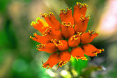 Beautiful light orange flowers of cactus — Stock Photo