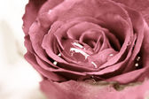 Close up of pink rose with drop — Stock Photo