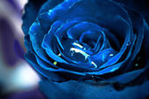 Close up of blue rose with drop — Stock Photo