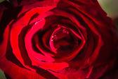 Red rose. Macro background — Stock fotografie