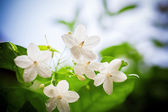 The white flowers — Stock Photo
