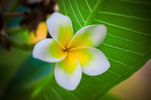 Tropical flowers frangipani (plumeria) — Stock Photo