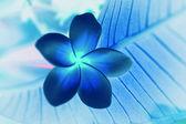 Tropical flowers frangipani (plumeria) invert — Stock Photo
