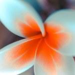 Tropical flower frangipani. Macro — Stock Photo #45260079