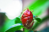 Ants is staying on the red unblown flower bud — Stock Photo