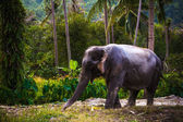Asian elephant in jungle forest. Thailand — Stock Photo