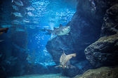 Shark with fish underwater in natural aquarium — Stock Photo