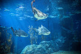Shark with other fish is swimming in the deep water — Stock Photo