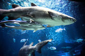 Shark with other fish is swimming in the deep water — Stok fotoğraf