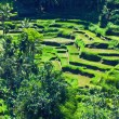 Terrace rice fields — Stock Photo