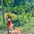 Rice farmer - Photo