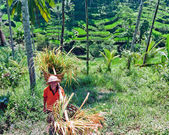 Rice farmer — Stock Photo