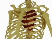 Heart in the chest — Stock Photo