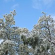Stock Photo: Ice Covered Pine Trees
