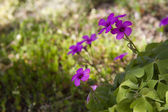 Oxalis . Closeup of green four leaved clover plants — Stock Photo