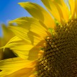 Sunflower against the blue sky.Nature composition. — Stock Photo