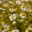 Some feverfew are soaking up the sunlight. — 图库照片