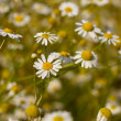 Some feverfew are soaking up the sunlight. — Zdjęcie stockowe