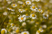 Some feverfew are soaking up the sunlight. — Stock Photo