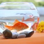 Goldfish in a round aquarium. — Zdjęcie stockowe #30329859