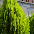 Stock Photo: Thujoccidentalis tree. Garden tree.