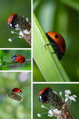 Collage with ladybugs — Stock Photo