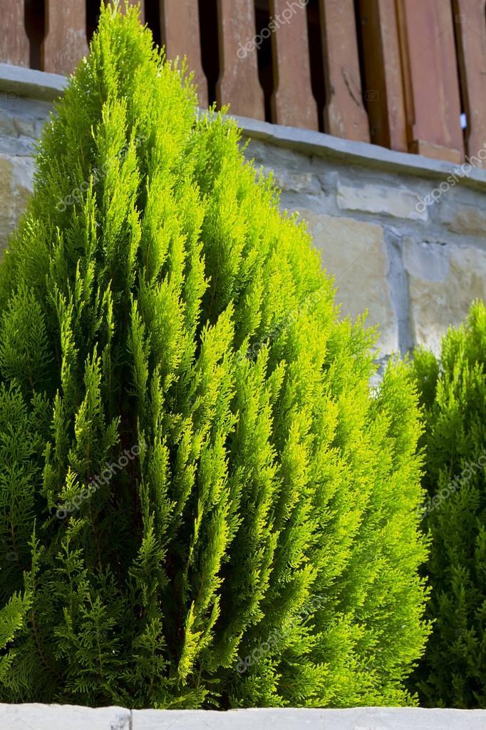 thuja occidentalis tree garden tree stock photo greenjo 30330259. Black Bedroom Furniture Sets. Home Design Ideas