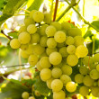 Stock Photo: White grapes