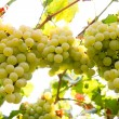 White grapes — Stock Photo #31092769