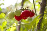 Fresh garden tomatoes ready for picking — Stock Photo
