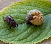Larva of cockchafer — Stock Photo