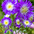 Beautiful aster flowers, on green background — Stock Photo