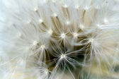 Dandelion inside,macro photography — Stock Photo