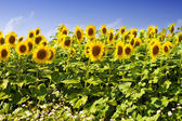 Beautiful sunflowers in the field with bright blue sky — Stock Photo