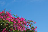 Flowers of a bougainvillaea on a background of the cloudless sky — Stock Photo