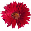 Gerbera (isolated) - Stock Photo