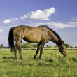 Grazing Horse — Stock Photo