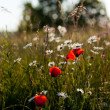 Stock Photo: Summertime Meadow