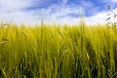 ライ麦のフィールド — ストック写真