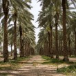 Date Palm plantation — Stock Photo