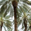 Date Palm — Stock Photo