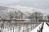 Snowed vineyards — Stock Photo