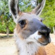 Stock Photo: Closeup of Llama