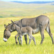 Stock Photo: Mother and Baby Burro