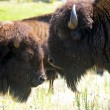 Stock Photo: Two Buffalo